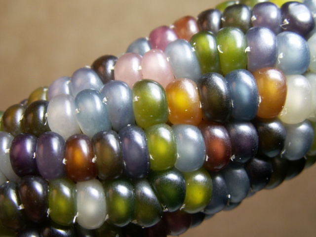 Real Corn on the Cob That Comes in Colors