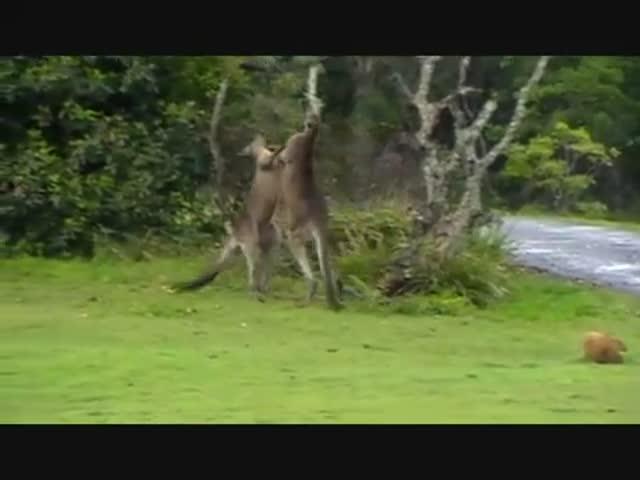 Kangaroo Chokes Opponent to Win Fight, MMA Style!