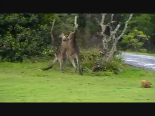 Kangaroo Boxing Gif