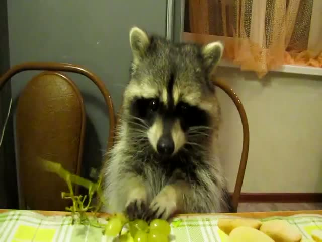 Racoon Eats Grapes at the Kitchen Table