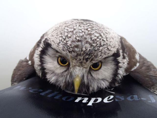 Kayaker Rescues a Stranded Owl