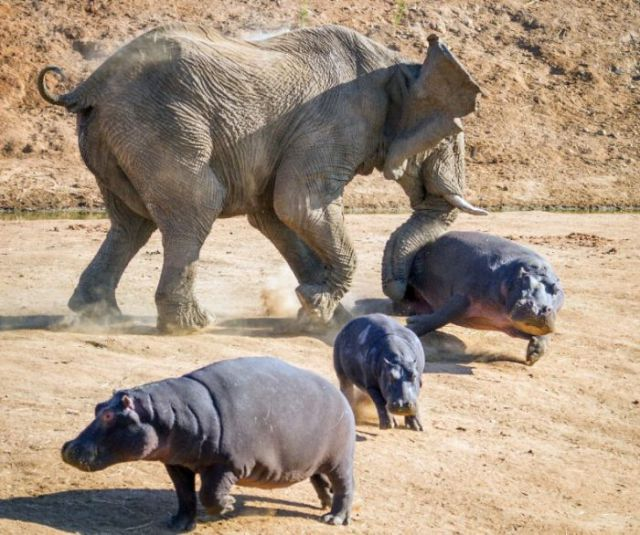 Angry Elephant Confronts a Hippo Mom and Kids