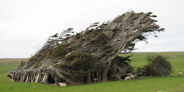 Antarctic Winds Give These Trees Unusual Shapes