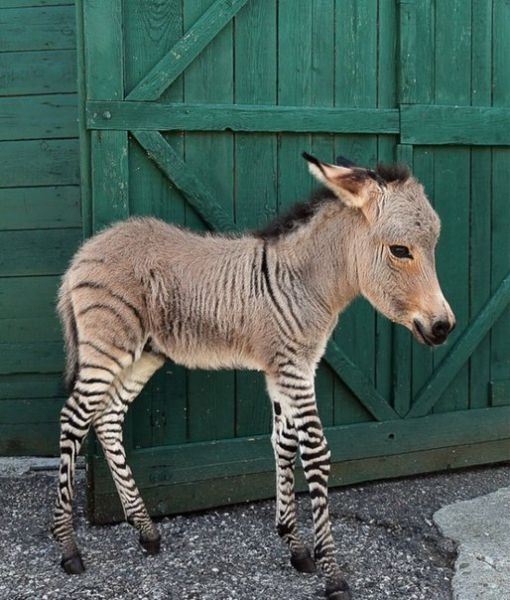 The First Ever Donkey-Zebra Cross Breed