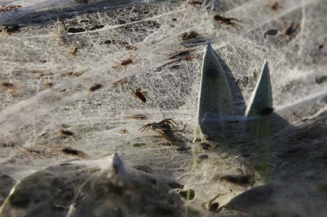 A Terrifying Spider Invasion in Australia