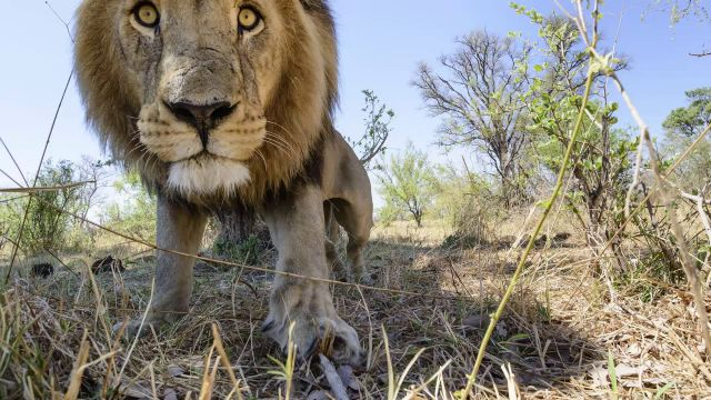 Photographer Uses RC Camera Buggy to Get Unique Lion Close-Ups