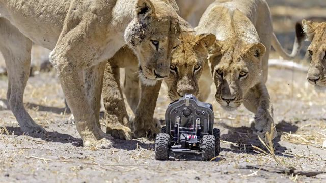 Photographer Uses RC Camera Buggy to Get Unique Lion Close-Ups