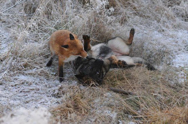 The Unlikely Friendship between the Fox and the Hound