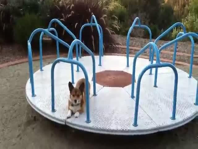 Funny Corgi on a Playground Carousel
