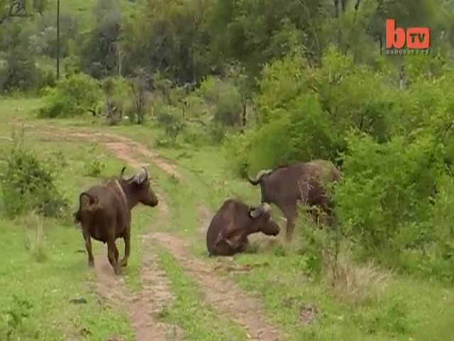 Buffalo Gets Rid of Lion like It's a Rag Doll to Save Friend