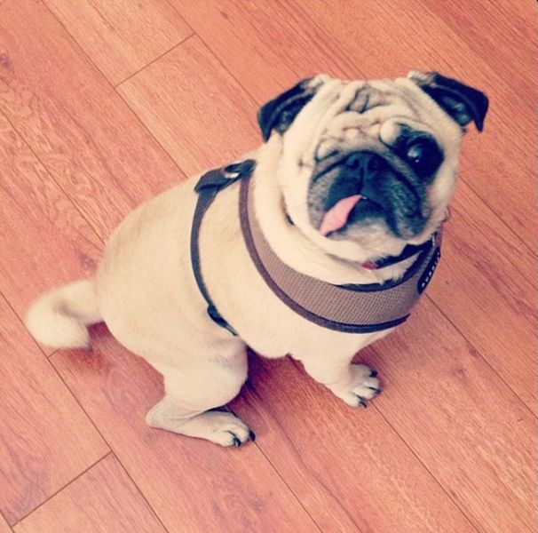 The Adorable One-Eyed Pirate Pug Dog