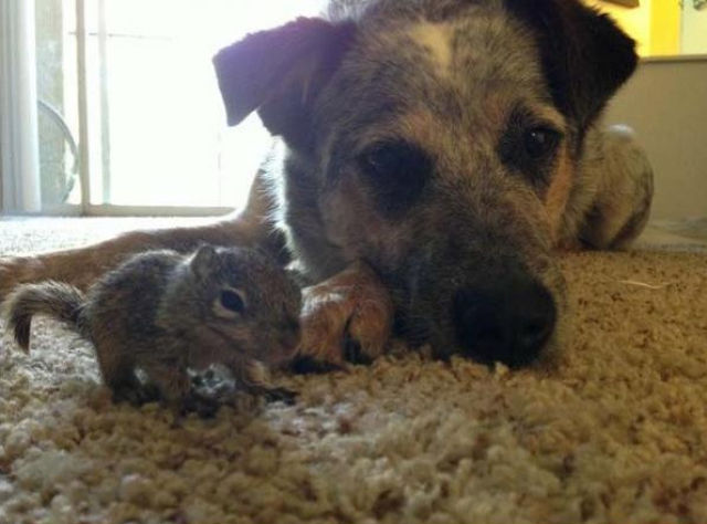 The Story of Tiniest Rescued Squirrel and His Adopted Doggy Parents
