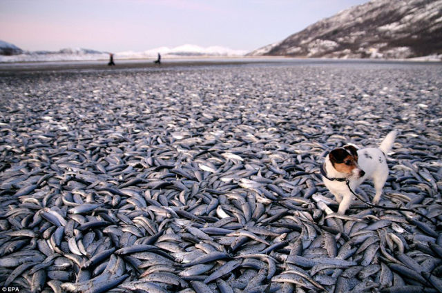 A Herring Shoal Is Instantly Frozen in Norway