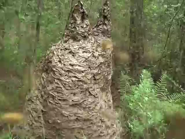 What a Nest of Very Angry Yellow Jackets Sounds like