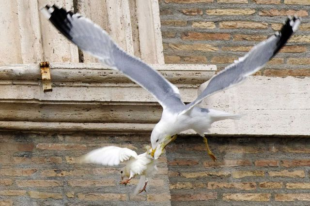 Ironic Moment as Peace Doves Are Attacked in Mid-flight