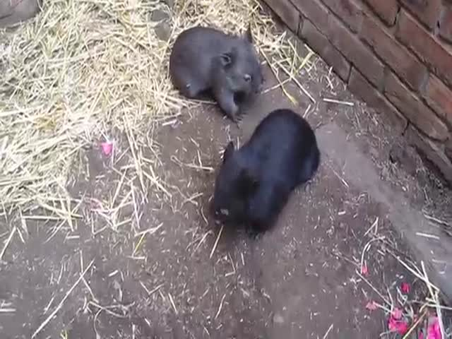 Man Plays with Two Baby Wombats