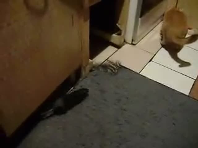 Rat vs Cat