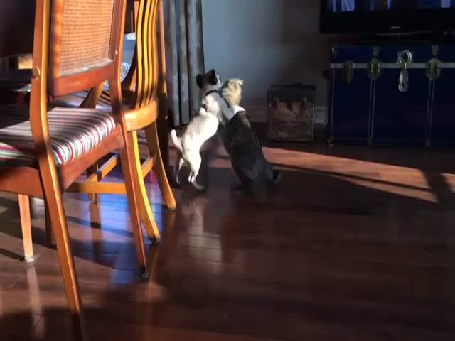 Cat vs Pug Puppy: Who Will Win This Epic Battle?