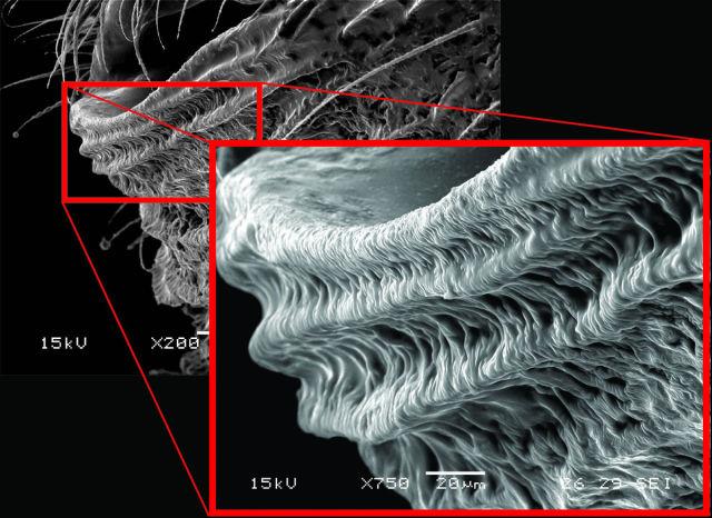 Black Widow Spiders Are Even Creepier Under a Microscope