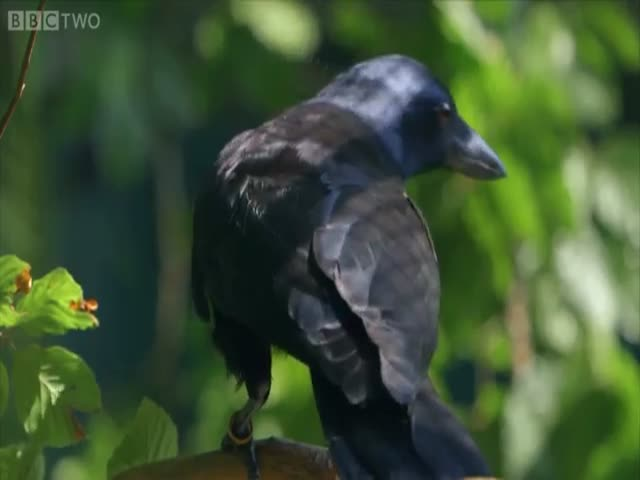 Smart Crow Solves Complex 8-Step Puzzle