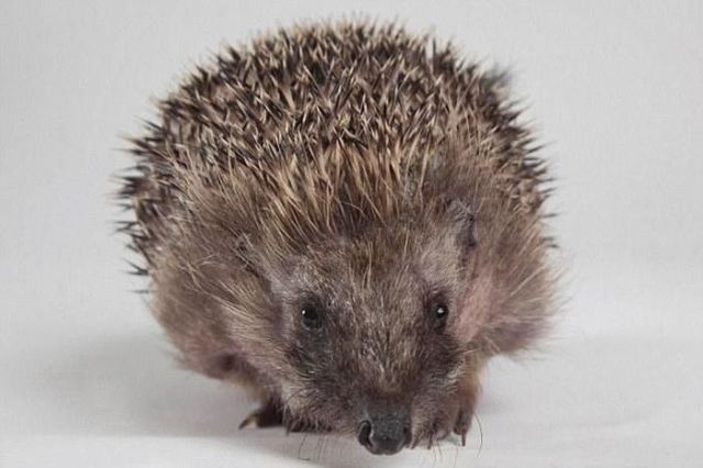 An Injured Hedgehog's Road to Recovery