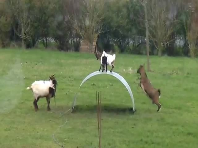 Goats Having the Time of Their Lives Balancing on a Flexible Steel Sheet