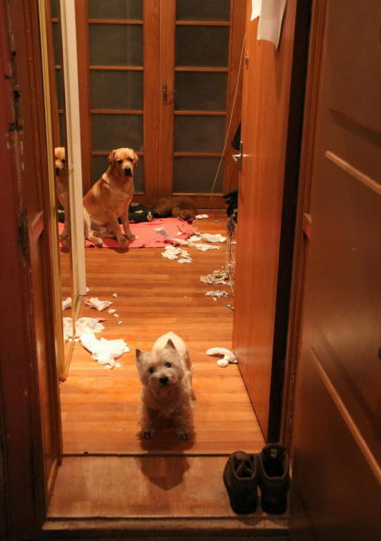 The Total Destruction Caused by One Naughty Labrador