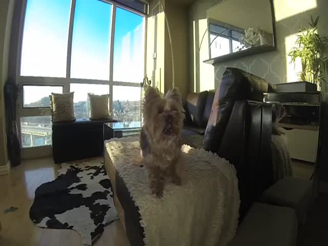 This Dog's Terrible at Playing Catch  (VIDEO)