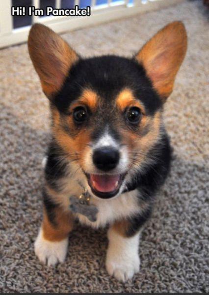 This Cute Corgi Named Pancake Is a Very Happy Dog