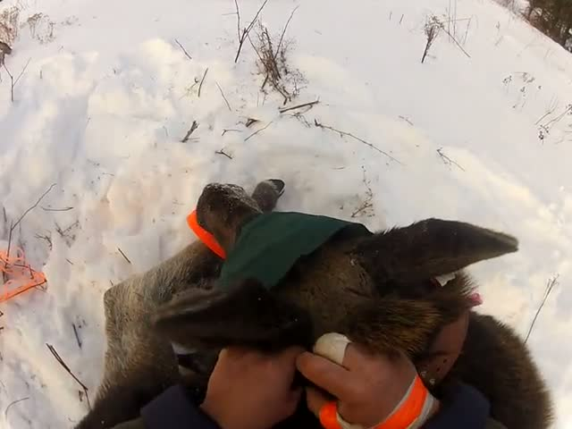 Ungrateful Moose Calf Attacks Man Who Just Released Her into the Wild  (VIDEO)