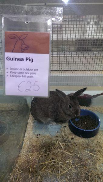 long eared guinea pig