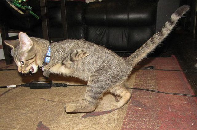 The Remarkable Two-Legged Kitten