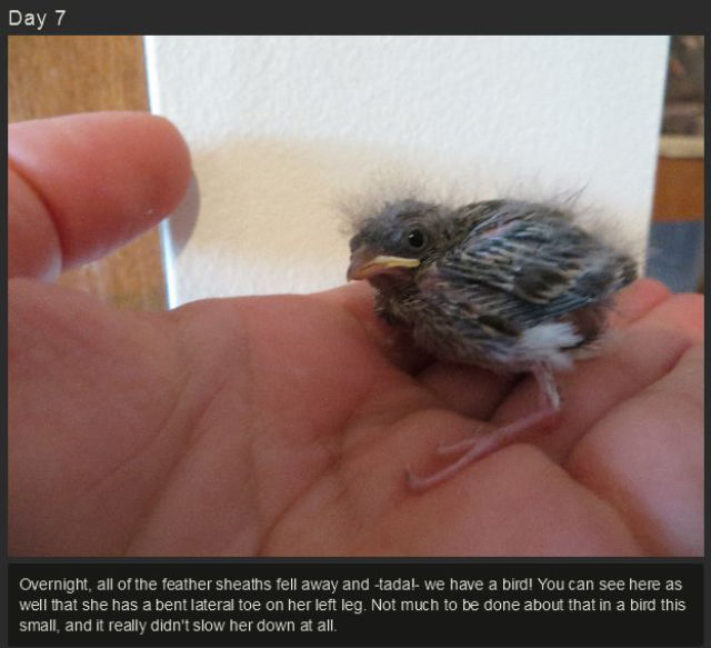 miniature_baby_songbird_rescued_and_raised_by_hand_640_09