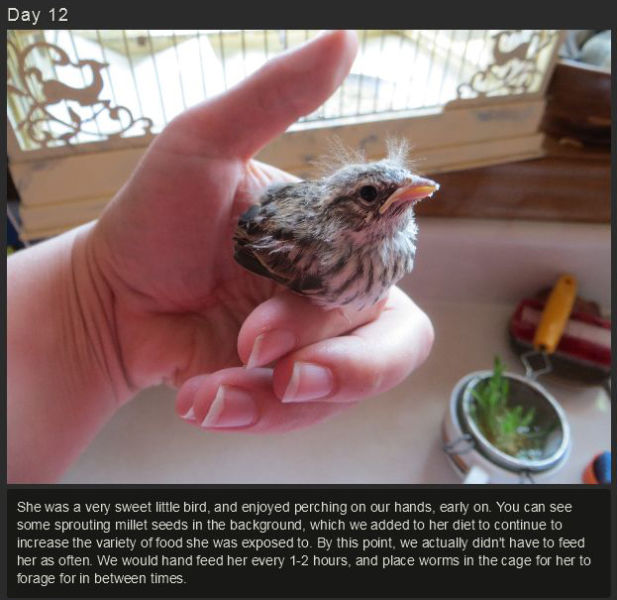 miniature_baby_songbird_rescued_and_raised_by_hand_640_14