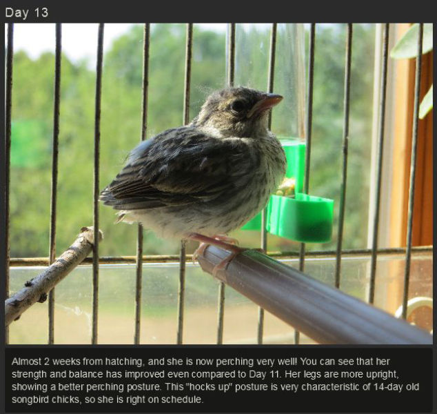 Miniature Baby Songbird Rescued and Raised by Hand