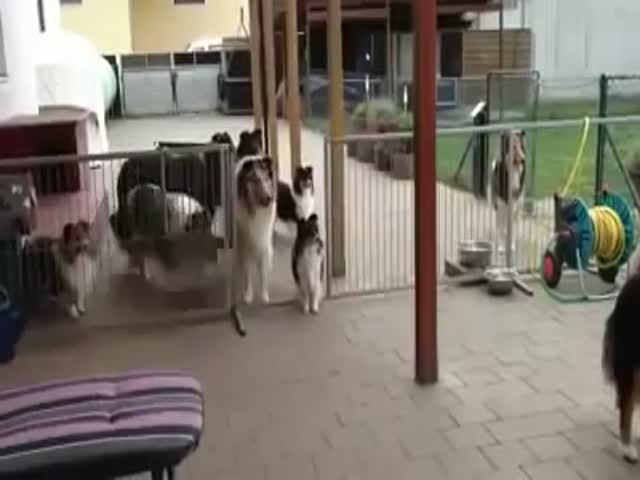 Dogs Patiently Waiting to Be Called for Dinner One by One  (VIDEO)