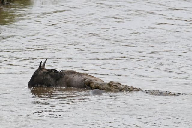 Hippo Rescues Gnu from Death by Crocodile