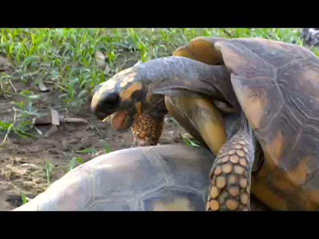 What an Orgasm Looks and Sounds like - Tortoise Edition
