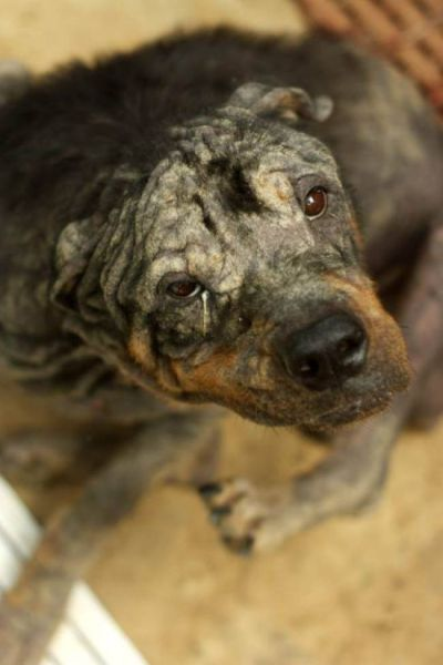 Neglected Rottweiler Makes a Dramatic Recovery