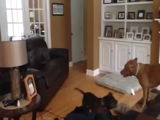 Overexcited Dog Plays the 'Floor Is Lava' Game on the Furniture