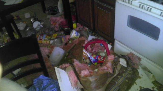 Raccoon Squatters Cause Choas in Guy's Home