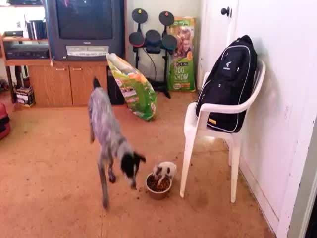 Fearless Puppy Defends Its Dinner from Big Dog