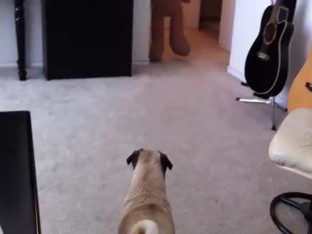 Owner Uses Teddy Bear to Scare the Crap Out of His Pug  (VIDEO)
