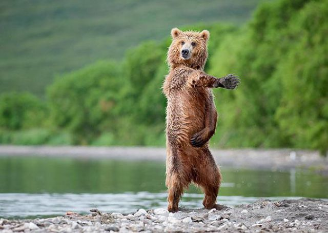 Bears Acting Scarily Similar to Humans