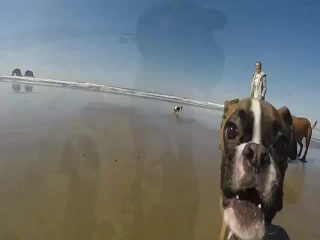 Adorable Two Legged Boxer's First Time to the Beach
