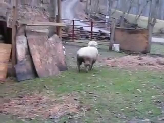 What Happens When a Sheep Grows Up with Dogs