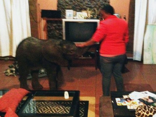 A Visit from a Lost and Wandering Baby Elephant