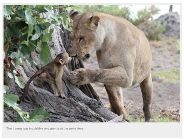 A Baby Baboon's Unusual Meeting with a Lioness