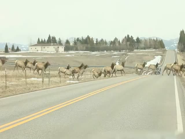 A Massive Herd of Elks Jumping over a Fence to Cross the Road
