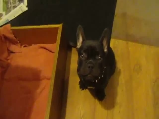French Bulldog Puppy Adorably Argues over Bedtime